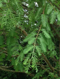Buy Online Metasequoia glyptostroboides, Dawn Redwood For Your Garden.