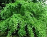 Buy Online Fargesia Denudata Clumping Bamboo Plant For Your Garden.