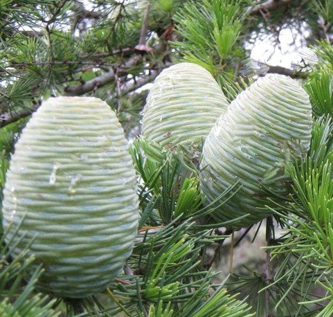 Buy Online Fast Growing Deodar Cedar Cedrus Deodara Tree Maya