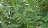 Bambusa Multiplex Fern Leaf Bamboo Plant For Your Garden