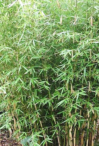 Buy Online Fargesia Robusta Clumping Bamboo Plants For Your Garden.