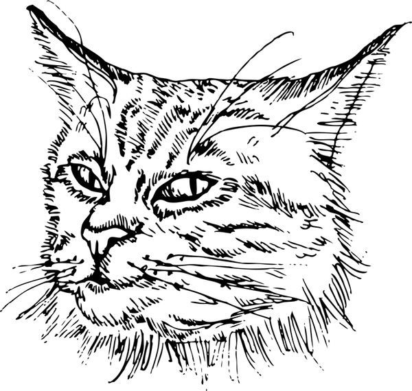 Main Coon Cat Face (Sketch-Style) - Stamptopia