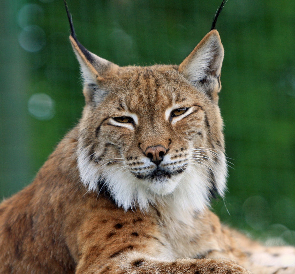 Lynx in the Wild: 16 Photos of Lynx Levelers in Action