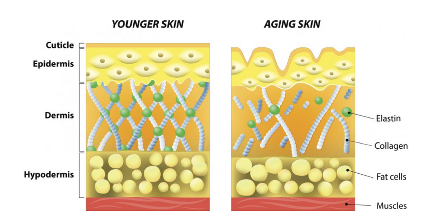 Collagen Skin Graph