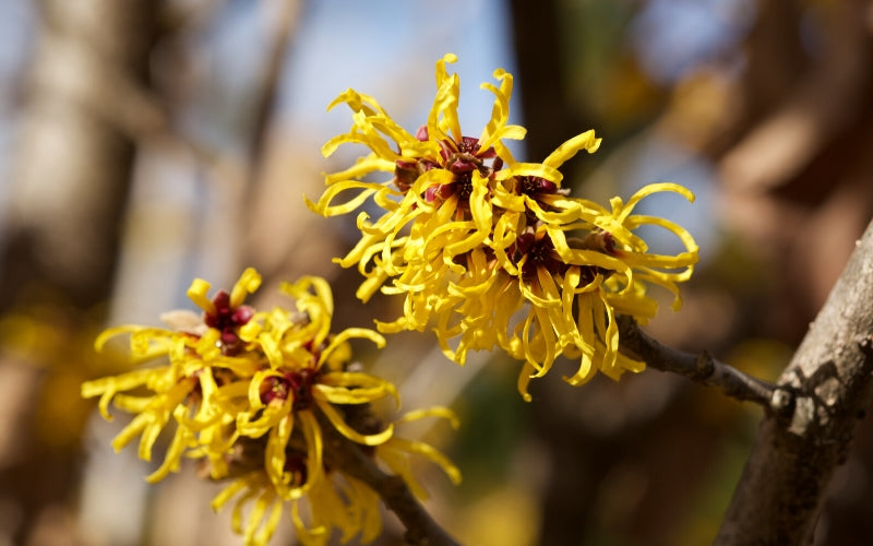 skin care ingredients to avoid witch hazel