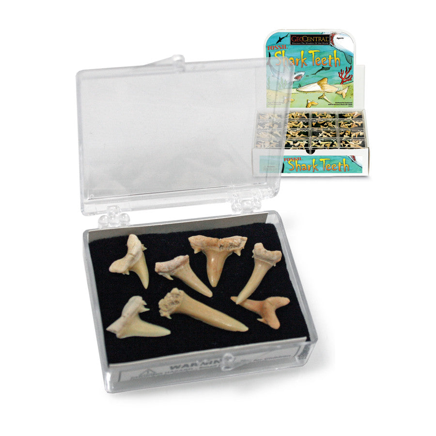 Sharks Teeth in Box