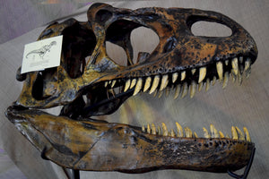 Allosaurus Skull Full Scale