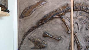 Dig Panel Edmontosaurus Duckbill / Albertosaur Tail Section