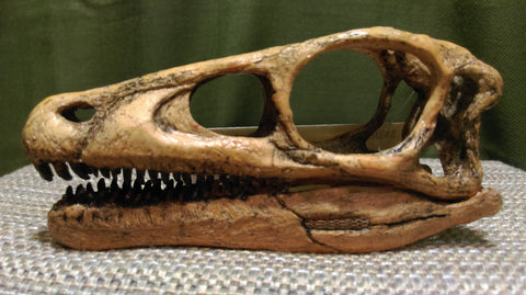 Eoraptor Skull- Full Scale