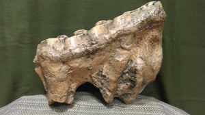 Gomphothere Tooth w/Root