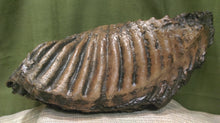 Mammoth Tooth 15.5x6.5x3.5""