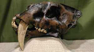 Smilodon Sabertooth Cat Skull