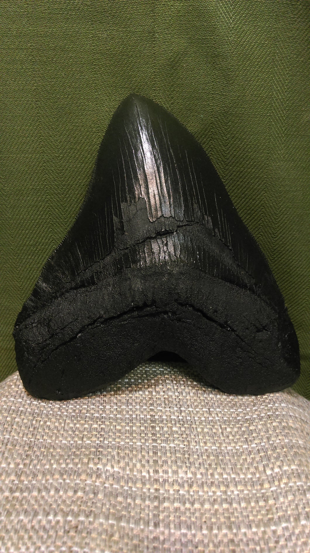 Carcharodon Megalodon Tooth-Black