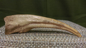 Ornithomimus Claw