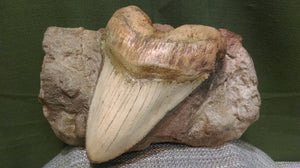 Megalodon Tooth in Matrix