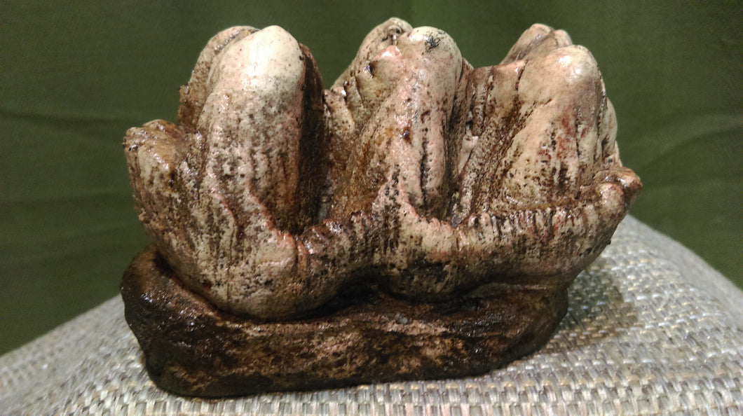 Platybeledon Adult Tooth