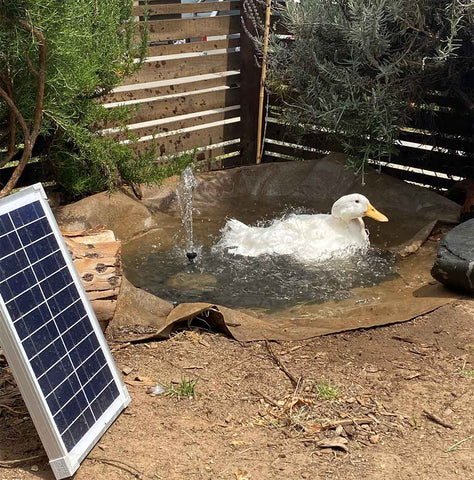 Rescued duck in small pond with solar water pump