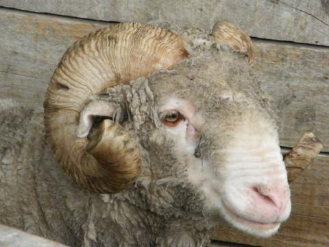 How sheep helped us avoid our mother getting pressure sores.