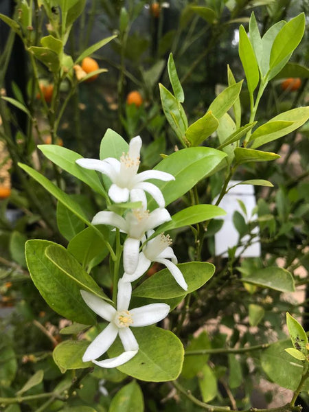 orange blossom flowers