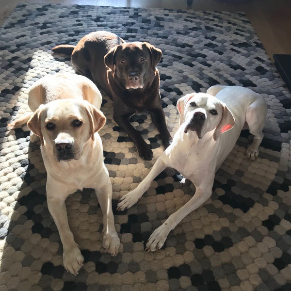 3 BEAUTIFUL BIG DOGS READY FOR A WALK