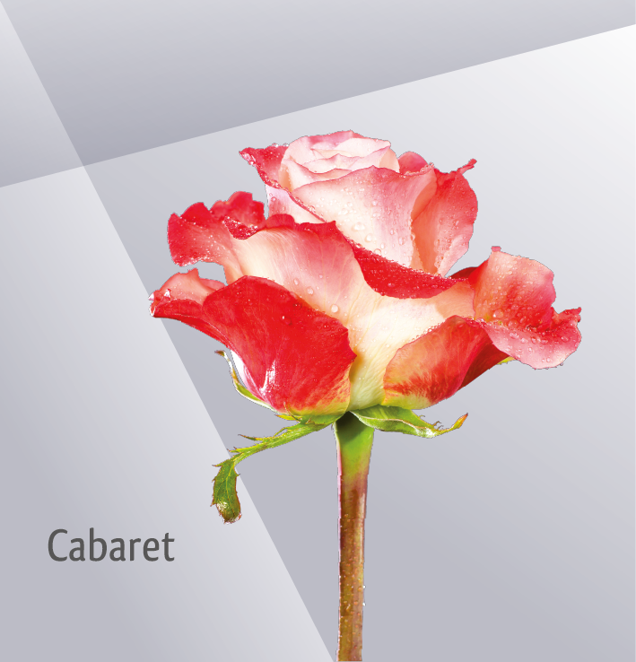 CABARET - Orange Bicolor Rose