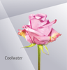 Coolwater - Lavender Rose