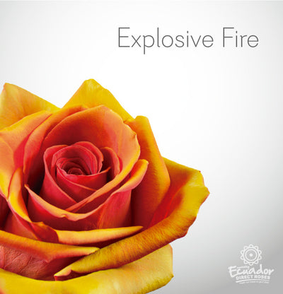 EXPLOSIVE  FIRE - Bicolor Tinted Rose