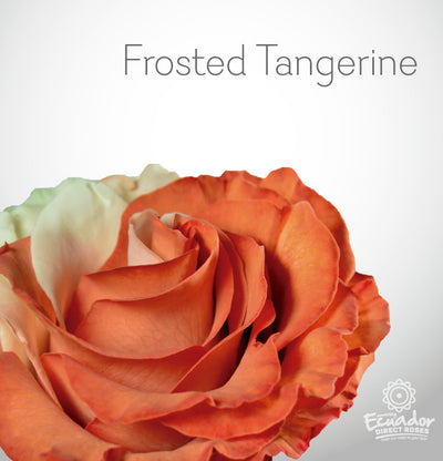 FROSTED TANGERINE - Bicolor Tinted Rose