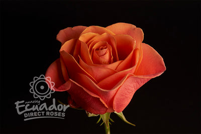 ORANGE CRUSH - Orange Rose