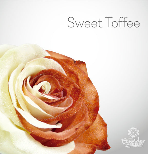 SWEET TOFFEE - Bicolor Tinted Rose