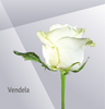 VENDELA - White Rose