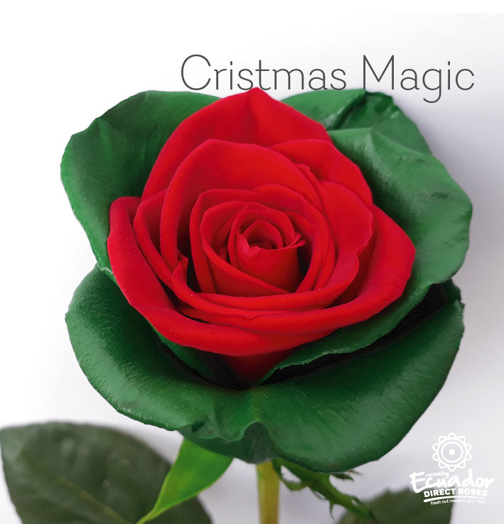 CHRISTMAS MAGIC - Bicolor Tinted Rose