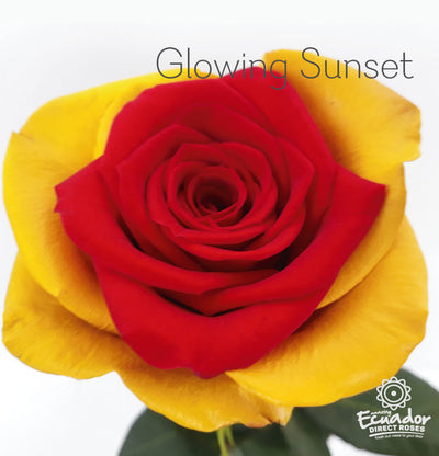 GLOWING SUNSET - Bicolor Tinted Rose