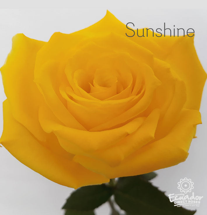 SUNSHINE - Yellow Tinted Rose