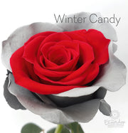 WINTER CANDY - Bicolor Tinted Rose