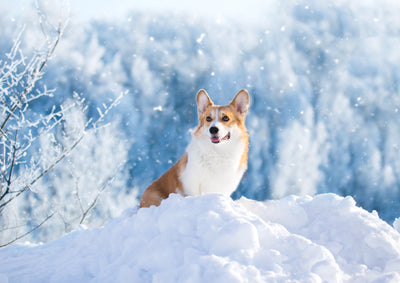 5 Tips for Winter Care for Dogs