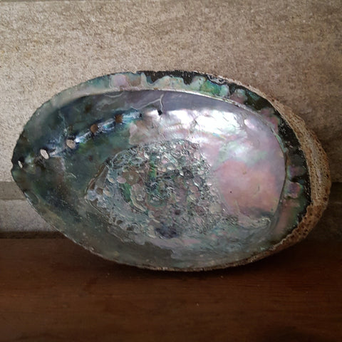"Abalone Shell (approx. 6"")"