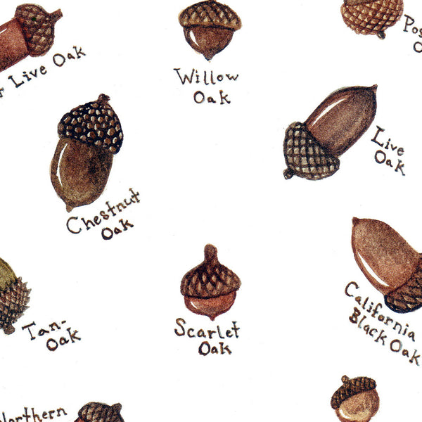 Acorns Close Up