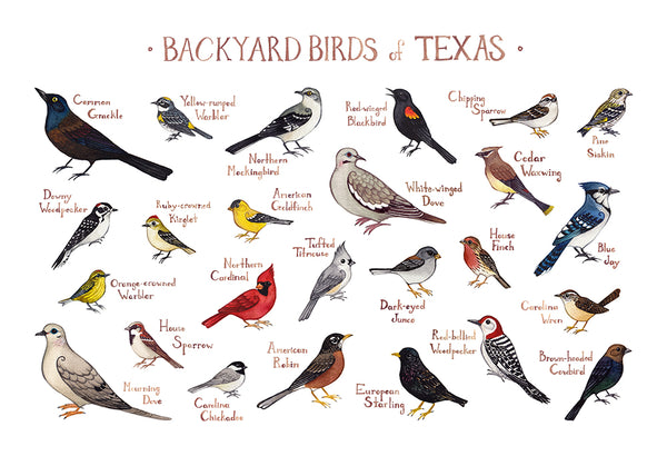 Wholesale Backyard Birds Field Guide Art Print: Texas