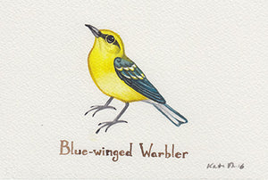 Blue-winged Warbler Painting
