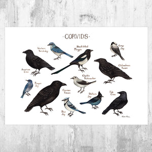 Wholesale Field Guide Art Print: Corvids of North America