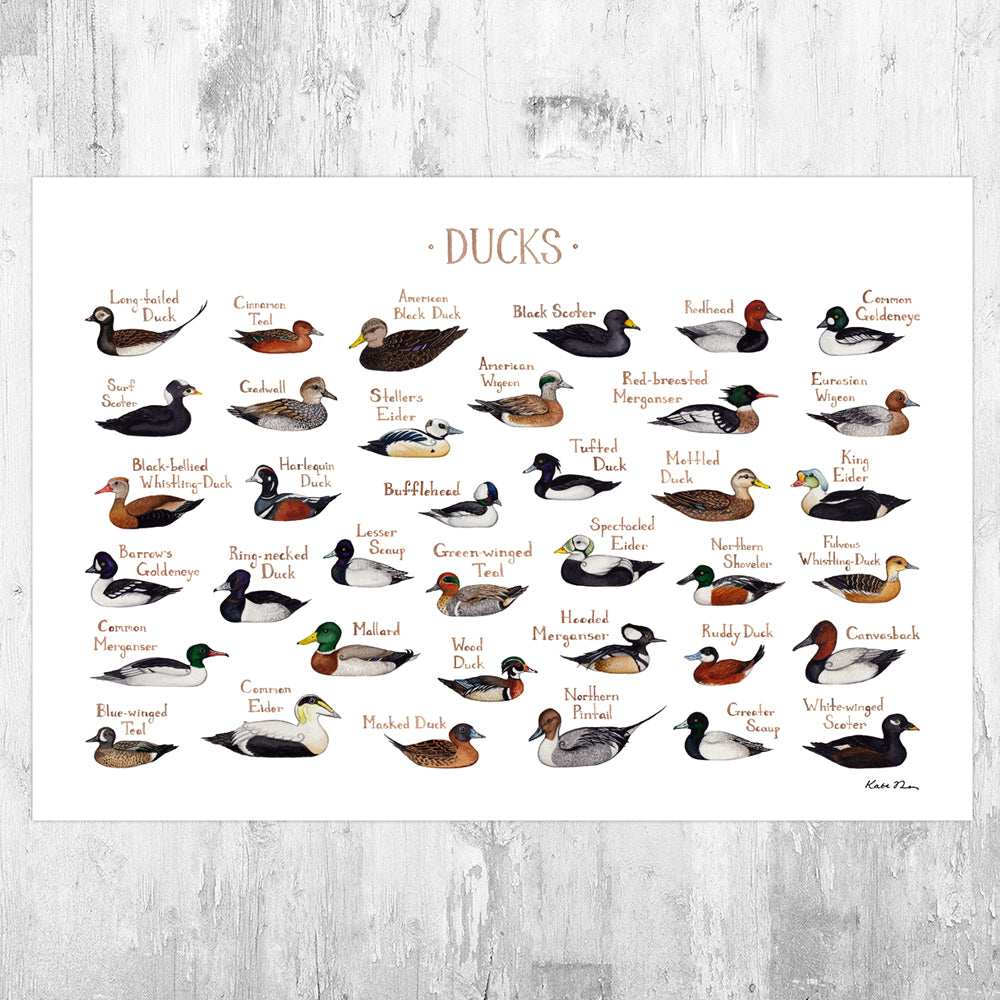 Ducks of North America Field Guide Art Print
