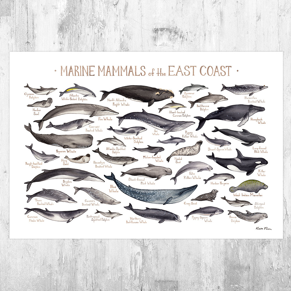 East Coast Marine Mammals Field Guide Art Print