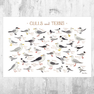 Gulls and Terns of North America Field Guide Art Print