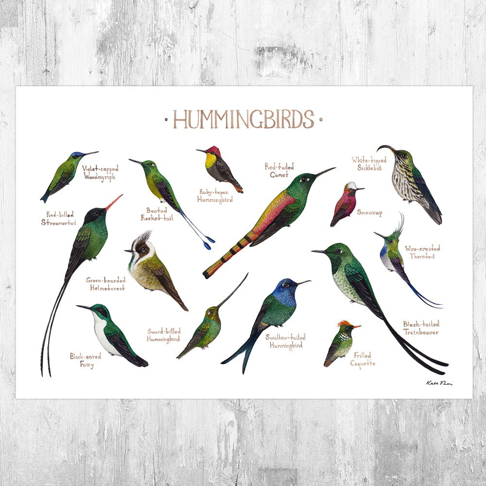 Hummingbirds (From Around the World) Field Guide Art Print