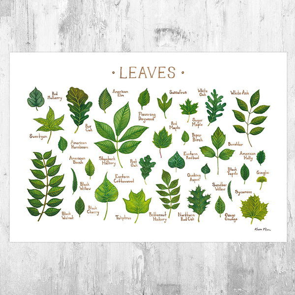 Leaves of North American Trees Field Guide Art Print