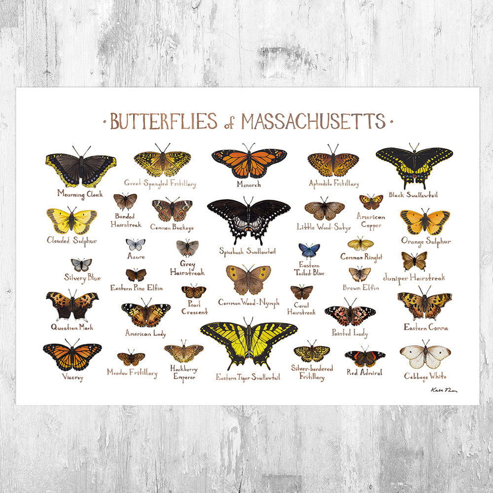 Massachusetts Butterflies Field Guide Art Print