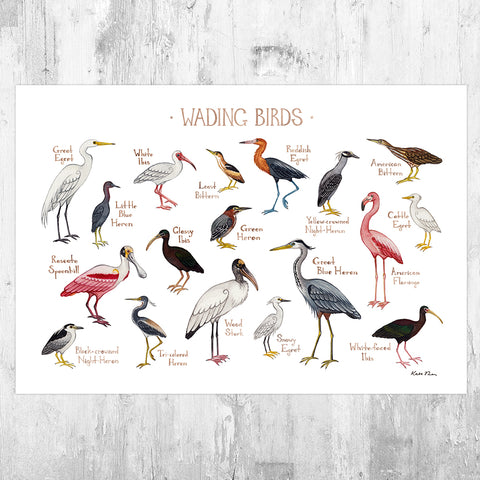 Wading Birds Field Guide Art Print