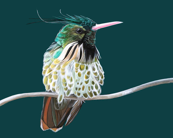 Black Crested Coquette Hummingbird Giclee print