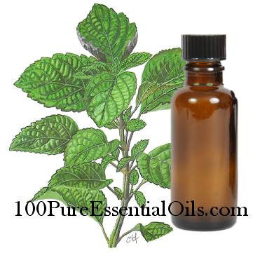 Buy Patchouli Oil of pogostemon cablin (Patchouly, Pacculi, tilam wangi oil)